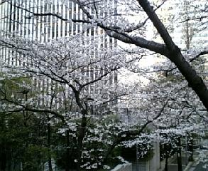 霊南坂付近?の桜